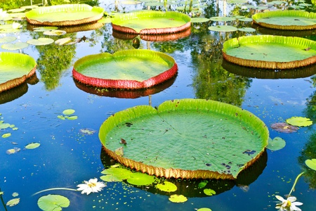 Victoria lotus leaf on water Stock Photo