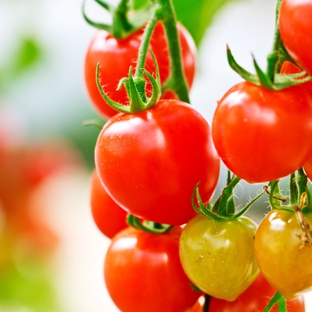RIpe garden tomatoes ready for picking  Stock Photo