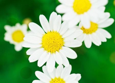 Beautiful flower daisy photo