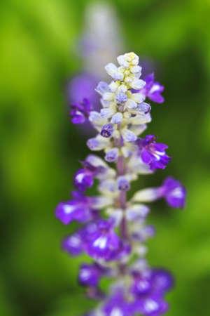 salvia: Salvia close-up