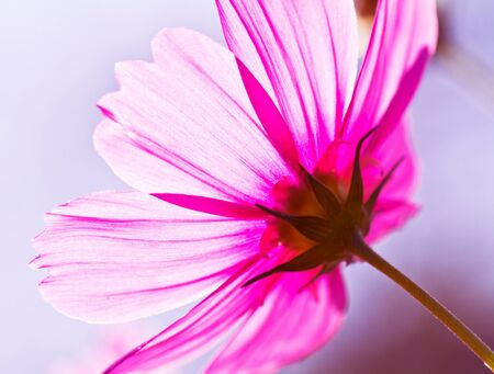 Cosmea flower in warm tone