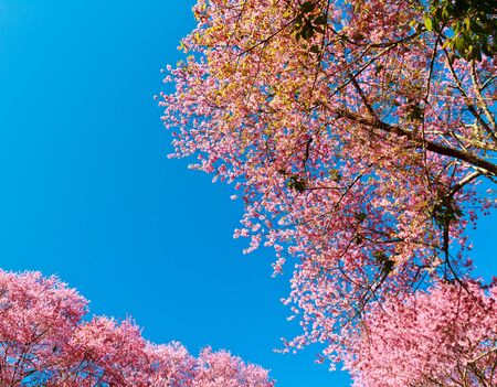 Cherry blossoms or sakura photo