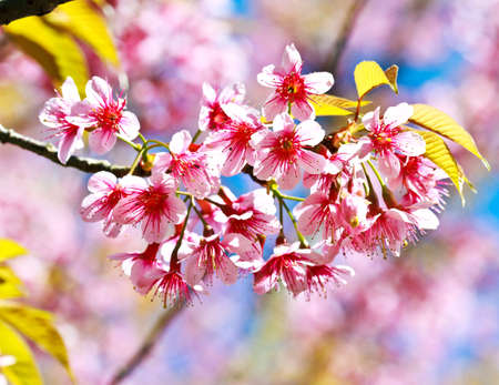 Cherry blossoms or sakura Stock Photo