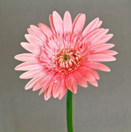 daises: gerbera flower Stock Photo
