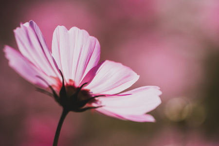 cosmos flower vintage style Stock Photo