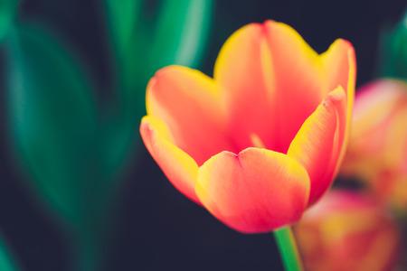 Fresh tulip vintage style