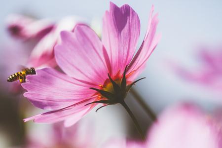 cosmos flower vintage style Stock Photo