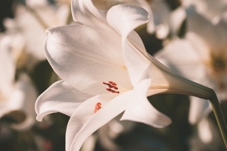 white lily vintage style 写真素材