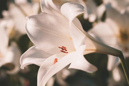 white lily vintage style Stock Photo