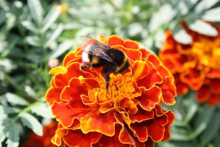 The Bumblebee siting on orange flower. Stock Photo