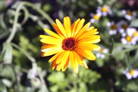 The calendula. It grows in garden. Stock Photo
