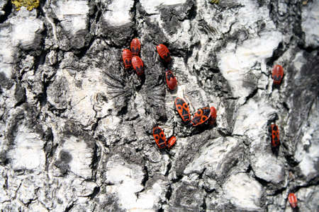 The red firebugs siting on birch. Stock Photo
