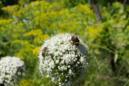 The bumblebee and bee on flower searching nectar Stock Photo