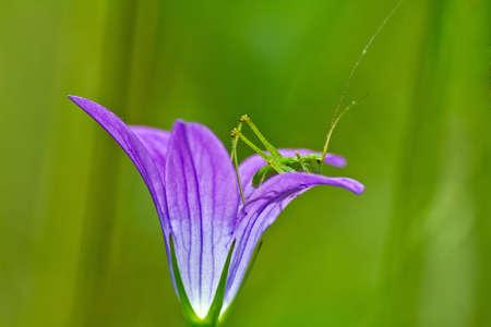 grasshopper on bell-flower photo