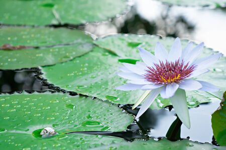 White water lotus with purple pollen on water at the garden Фото со стока - 130790158