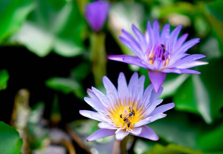 Purple water lotus with yellow pollen at the garden