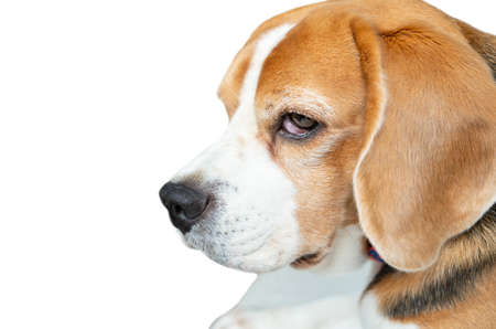 Close up face of Beagle dog face on isolated white background