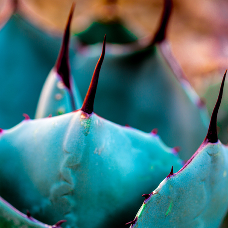 Las Vegas, NV, USA - March 19, 2016:  Succulent Artichoke Agave, (Agave Parryi) with a closeup of the plants spine,spike and needles. Stock Photo