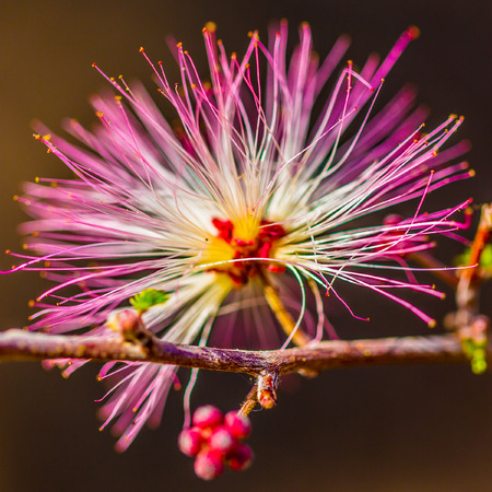 nv: Las Vegas, NV, USA - March 19, 2016:   Coseup of single bloom - Fairy duster,  Calliandra Eriophylia, False Mesquite