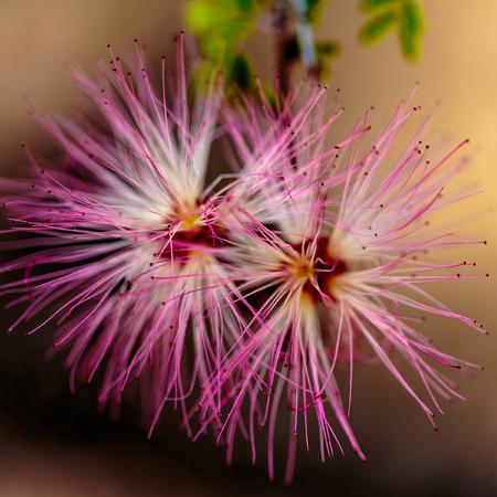 other keywords: Las Vegas, NV, USA - March 19, 2016:   Coseup of double bloom - Fairy duster,  Calliandra Eriophylia, False Mesquite Stock Photo