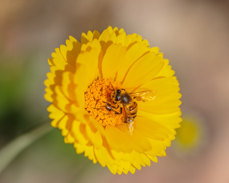 other keywords: Las Vegas, NV, USA - March 19, 2016:  Extreme closeup of Desert Marigold (Baileya Multiradiata) highligting intricate and symmetrical textures and colors of stamen and pistol for polination by Honeybee.