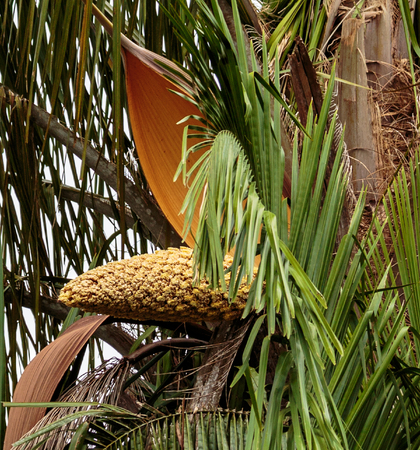 La Fortuna  Costa Rica - April 4,  2017:  Seed pod of palm tree popping from shell. Stock Photo