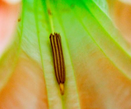 La Fortuna, Costa Rica - April 5, 2017: Closeup of stamen in the pink angels trumpet flower, Brugmansia Solanaceae,