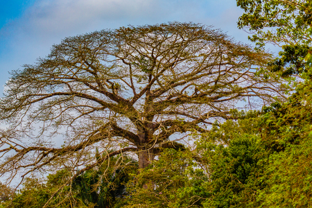 Los Chiles, Costa Rica - April 4, 2017:  Jungle cruise on the Frio River at the Cano Negro Wildlife Refuge.  Enterolobium cyclocarpum, commonly known as guanacaste, caro caro, or elephant-ear tree.  It is the national tree of Costa Rica. Stock Photo