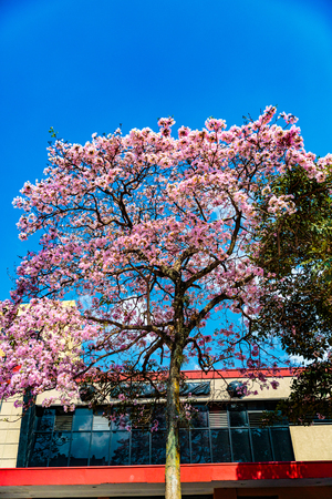 other keywords: San Jose, Costa Rica - March 31, 2017:  Tabebuia rosea, also called pink poui, rosy trumpet tree.  The name Roble de Sabana, meaning savannah oak, is widely used in Costa Rica.