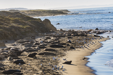 San Simeon, California: Males arrive and fight for mating and pupping spots on this beach. Females arrive in December then birth and mate through January, then leave their pups behind to learn swimming and feeding. Pups go out to sea by April. Imagens