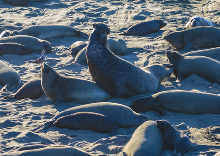 San Simeon, California, February 16, 2018:  Males arrive and fight for mating and pupping spots on this beach. Females arrive in December then birth and mate through January, then leave their pups behind to learn swimming and feeding.  Pups go out to sea  Editorial