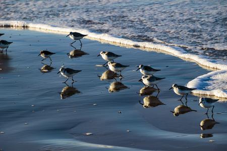 Sandpipers feeding at Pismo Beach, Pebble Beach, California.