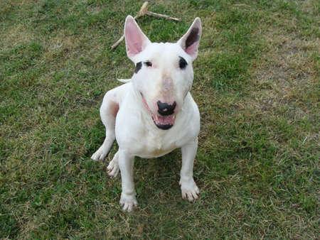 white bull terrier Stock Photo - 7776031