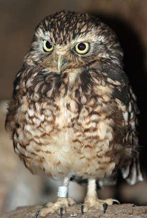 Rabbit owl Stock fotó