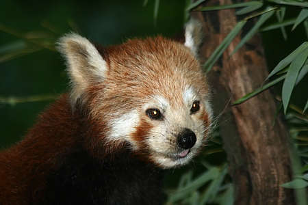 red Panda - little Panda