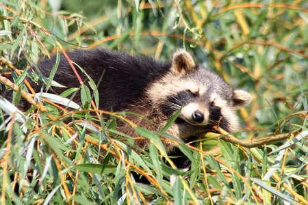 Raccoon sleeping in a tree Stock Photo