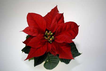 Weihnachtsstern Stock Photo