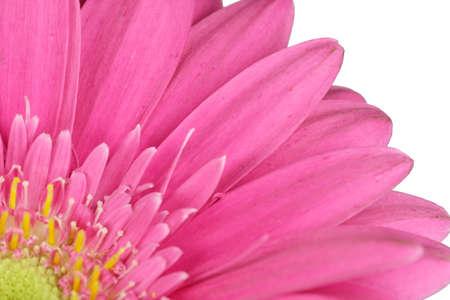 Blüte einer rosa Gerbera - freigestellt