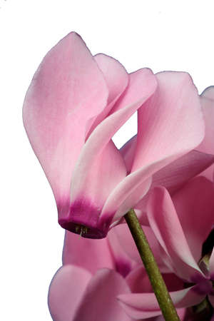 rosa Cyclame - Makro Details - freigestellt