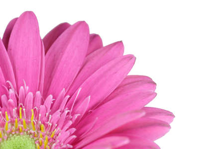pink flower in front of white backround - Gerbera