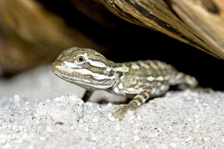 primitivism: young bearded dragon