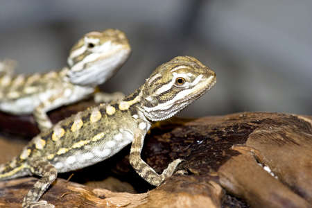 primal: young bearded dragon