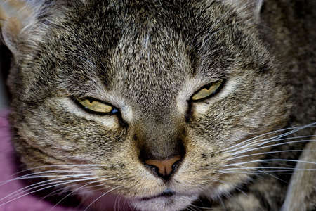 undomesticated cat: angry and tired cat Stock Photo