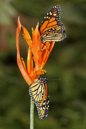 danaus: butterfly in nature Monarchfalter - Danaus plexippus - Protected species Stock Photo