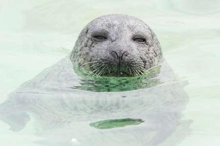 atilde: Seehund - seal - Phoca vitulina - northsea