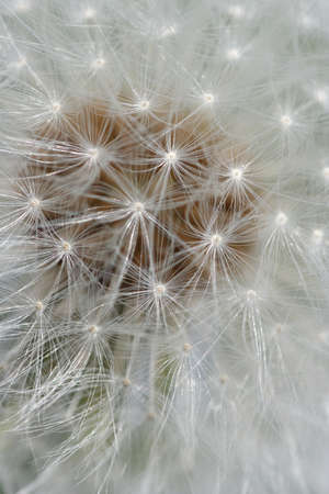 plantae: dandelion - close-up of a dandelion in the wilderness
