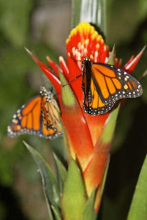 danaus: butterfly in nature - Danaus plexippus - Protected species