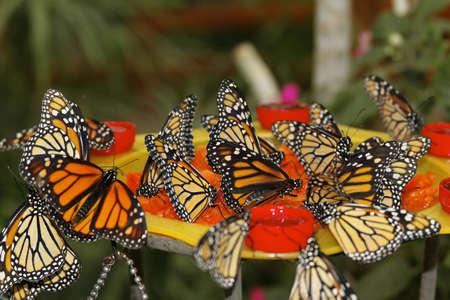 danaus: Schmetterlinge in der Natur - butterfly in nature Monarchfalter - Danaus plexippus  bedrohte Tierart - Protected species Stock Photo