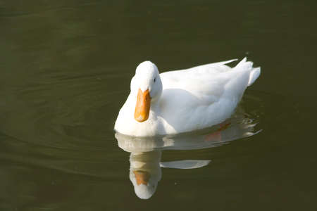 white duck at a pond Stock Photo