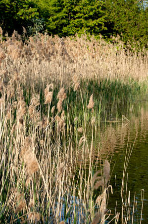 Reed plants in a little Bavarian lake inautumn